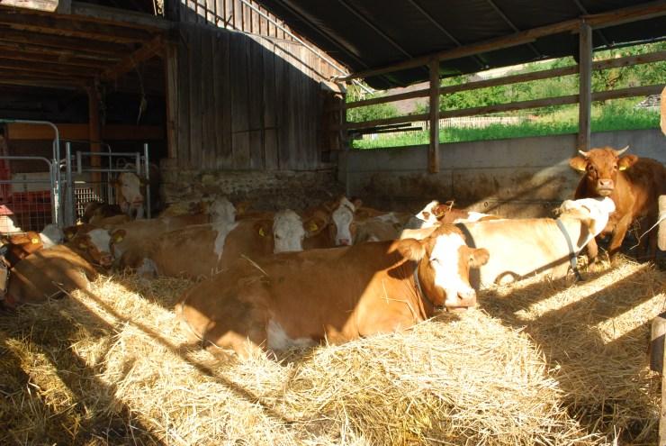 Aug Kühe in Blachenstall