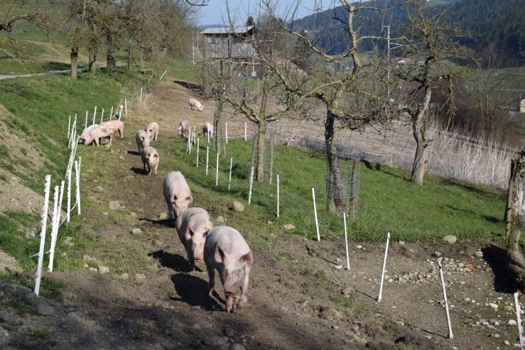 März Schweine Heimkehr