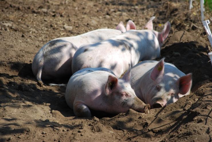 ruhende Schweine in Sommerauslauf