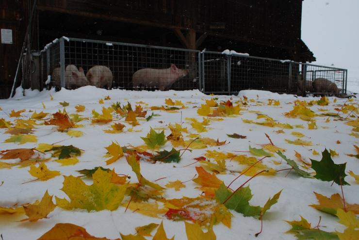 2012 Okt Schweinestall mit Blättern