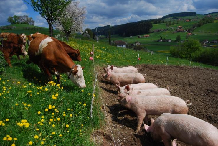 Beschnuppern Kühe & Schweine