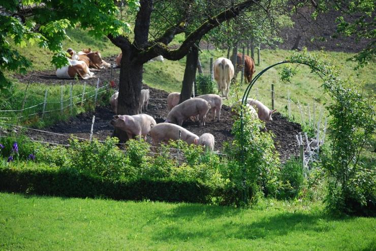 Idylle mit Kühen und Schweinen