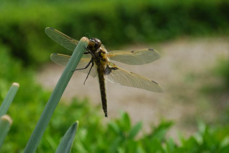 Libelle flugbereit von unten